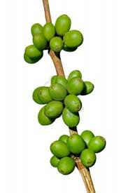 Green Coffee Bean Green Coffee Bean Max and Garcinia Cambogia are considered two titans in the weight loss niche