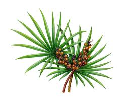 Saw Palmetto Saw Palmetto relieves and reduces enlarged prostate symptoms