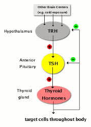 Underactive Thyroid Symptoms Underactive Thyroid correctable through hormone replacement therapy and Thypro supplement intake